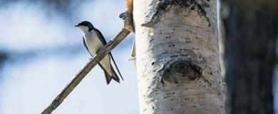 Uccello Volatile Rondine