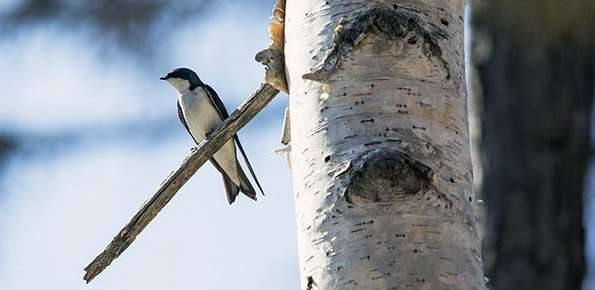Uccello, Volatile, Rondine