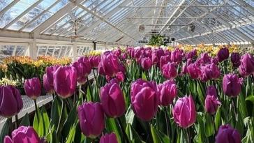 serra, coltivatori, tulipani